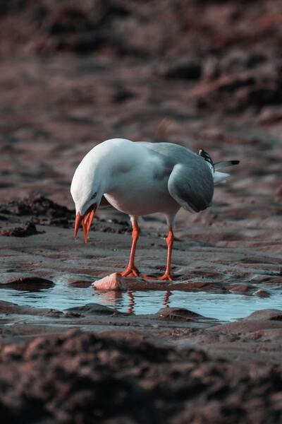 Red Billed Gull Standing Near Water