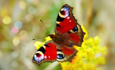 Red Butterfly HD Photo