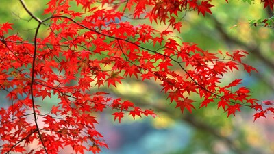 Red Flower Tree