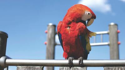 Red Macaw Parrot Bird Sitting 4K Photo