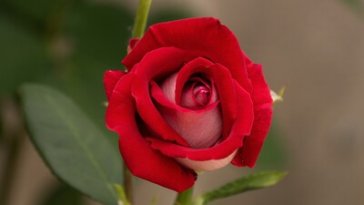 Red Rose HD Pic