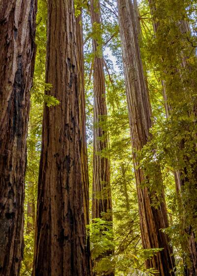 Redwoods Tree California Mobile Wallpaper