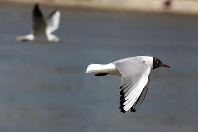Relict Gull Flying Photo