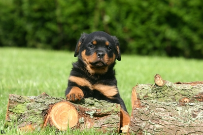 Rottweiler Dog Child Photo