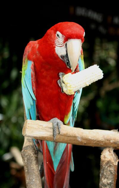 Scarlet Macaw Parrot Bird Eating Photo