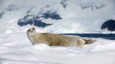 Sea Lion Lying in Snow