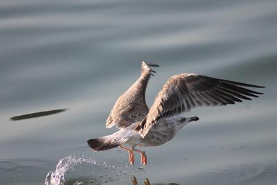 Seagull Bird Flying 4K Photography