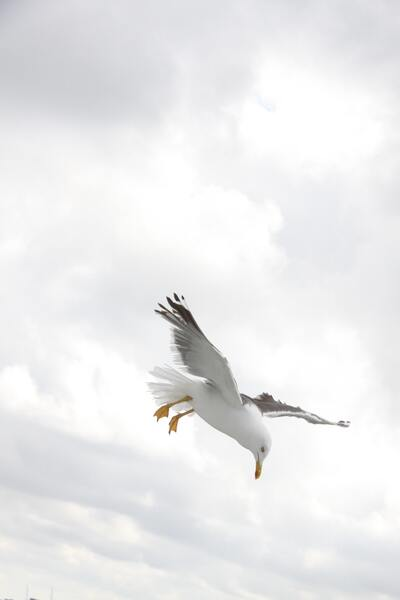 Seagull Bird Flying Photo