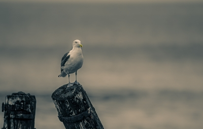 Seagull Bird HD Image