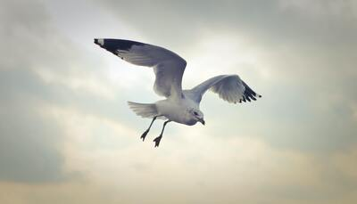 Seagull Flying 4K Photography
