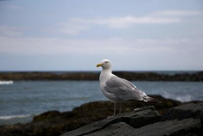 Seagull Standing on Rock Near Sea