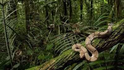 Snake Python in Forest Tree