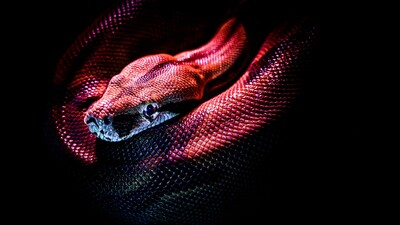Snake Reptile Red Ultra HD 4K