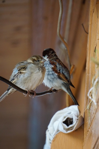 Sparrows Near Nest Photo