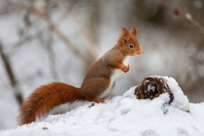Squirrel During Snowy Winter