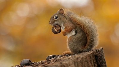 Squirrel Eat Food HD Wallpaper