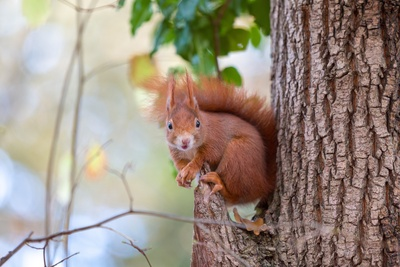 Squirrel on Tree Animal Wallpaper