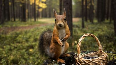 Squirrel With Basket HD Images