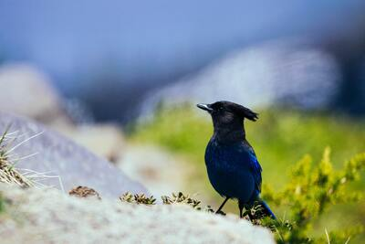 Steller Jay Bird 5K Photography