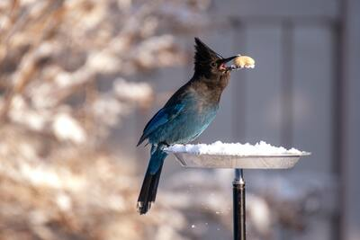 Stellers Jay Bird Photo