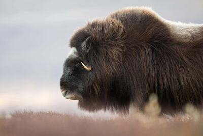 Strong Bison Photography