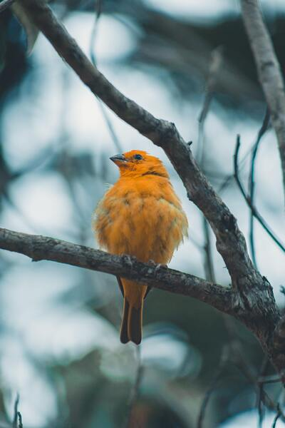 Summer Tanager Birds on Tree