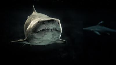 The Great White Shark in Sea With Black Background