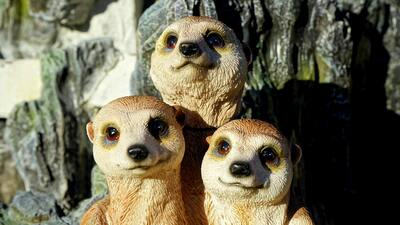 Three Meerkat Animal Photo