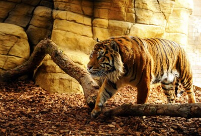 Tiger in Cave