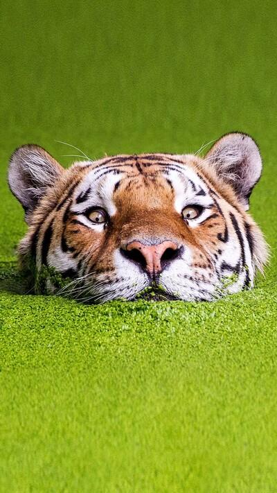 Tiger Mobile Photo Download