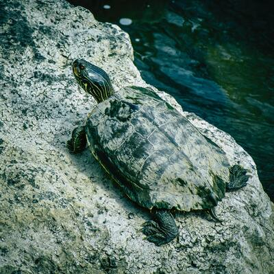 Turtle on Stone Image