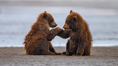 Two Baby Bears Firend Are Seating on Beach