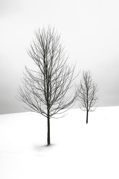 Two Bare Tree Covered in Snow