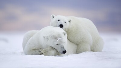 Two Polar Bear Sleeping in Snow
