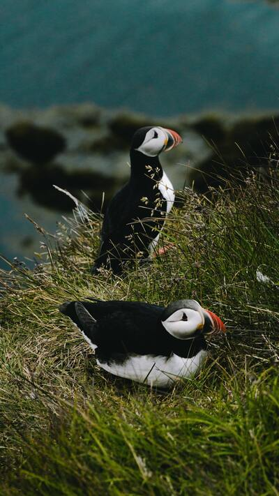 Two Puffin Birds on Green Grass Mobile Wallpaper