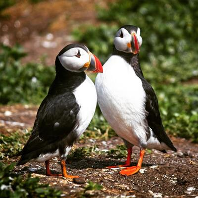 Two Puffin Birds Ultra HD Wallpaper