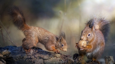Two Squirrel Eating on Tree HD Wallpaper