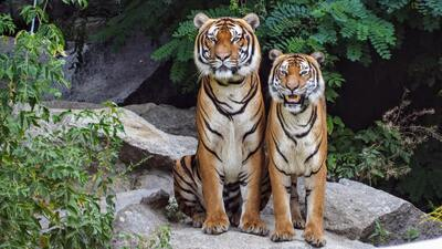 Two Tigers Pic