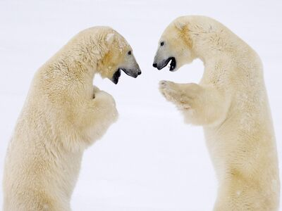 Two White Bear HD Wallpaper