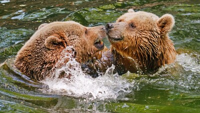 Two Wild Bear in Water