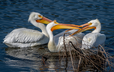 Water Birds Pelicans