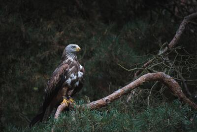 White and Brown Bald Eagle on Branch Photo