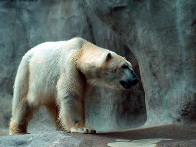 White Bear HD Photo