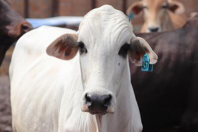 White Cattle Close Up Photo
