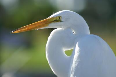 White Great Egret Crane Bird