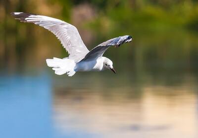 White Gull Bird Flying Photo