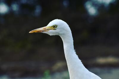 White Heron Bird Close Up Photo
