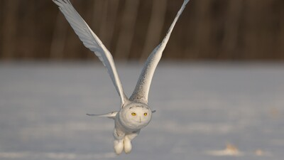 White Owl Flying Near Snow