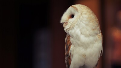 White Owl Look HD Photo