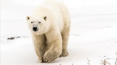 White Polar Bear HD Wallpaper